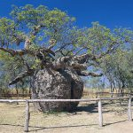 DERBY, PRISON TREE, BROOME